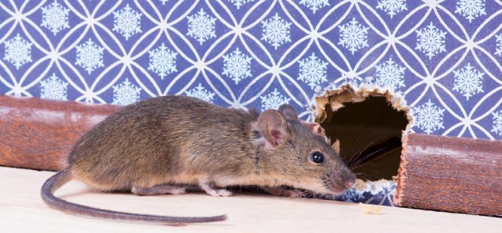 Assurance pour rat